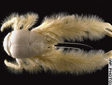 New animal resembles furry lobster