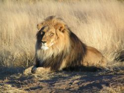 "Large, powerfully built cat (Panthera leo), the proverbial ""king of beasts."" photo and pictures"