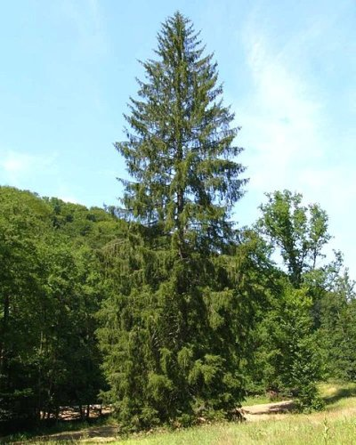 Norway Spruce (Picea abies) is a species of spruce native to Europe.